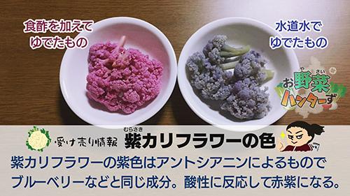 紫カリフラワーの色素はアントシアニンによるもの